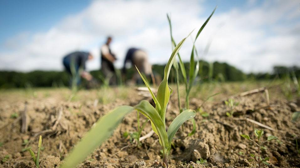 BTS ACSE agriculture pousse de maïs