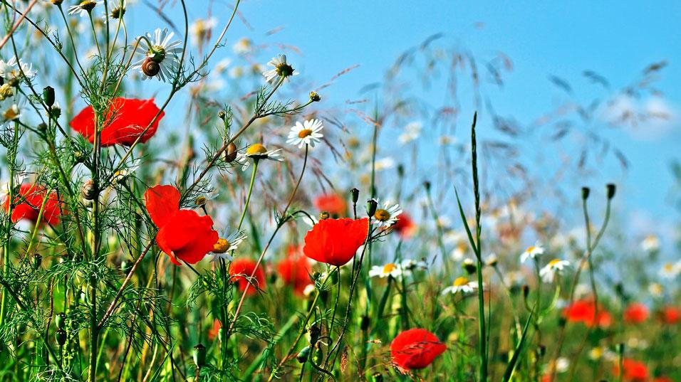 Fleurs de jachère
